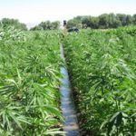 Colorado Continues Leading Hemp Industry, Submits Revised Hemp Management Plan